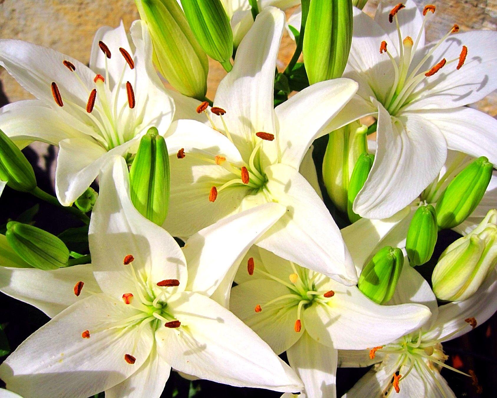Купить лилии в москве оптом